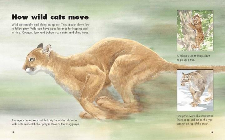 cougars, bobcat and lynx